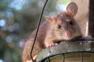Rat extermination, Pest Control in Walthamstow, E17. Call Now 020 8166 9746
